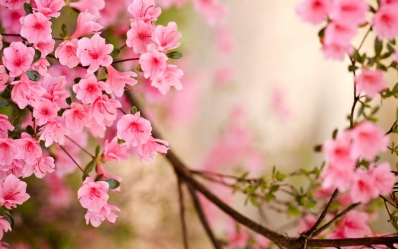 봄_고화질_배경화면,꽃_배경_이미지_(10).jpg