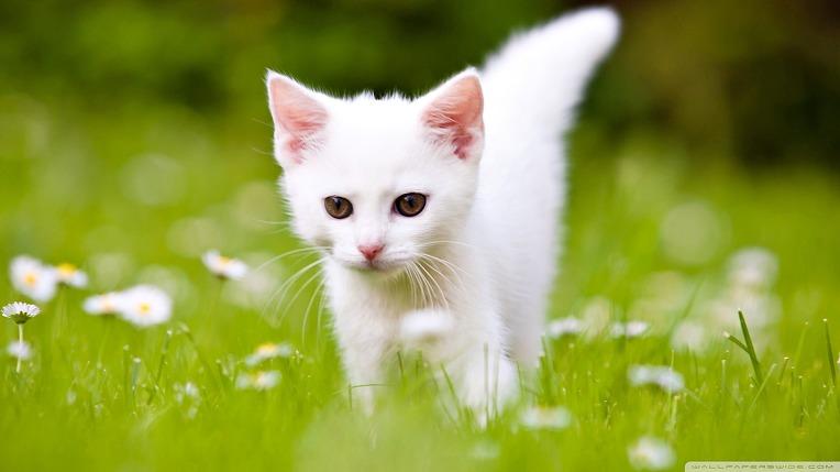 cute_white_kitten-wallpaper-1920x1080.jpg