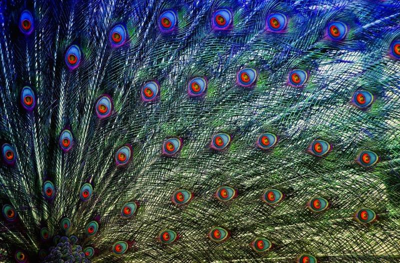 peacock-feathers-4010205_960_720.jpg