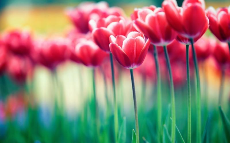 Red-flowers-tulips-bokeh_2560x1600.jpg