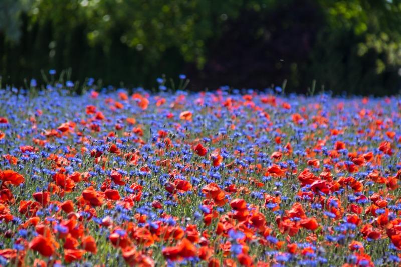flower_field_explore_poppy_blomma_cornflower_geolocation_vallmo-975352.jpg