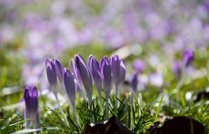 stadsparken_trelleborg_blomma_crocus_flower_krokus_lila_purple-451759.jpg